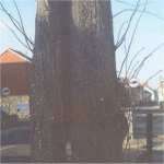 Photo 3 of Willow tree