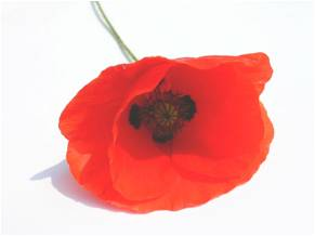 Poppies: Remembrance